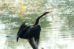 Indian Darter (NA.dir) Tags: keoladeo national park bharatpur india bird sanctuary birds migratory sony rx103 rx10mk3 rx10m3