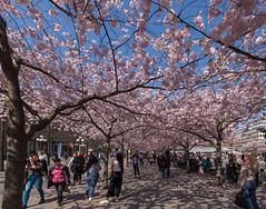 Körbärsträd i blomning II. (Anders Öquist) Tags: stad stockholm uppland sverige