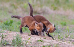 Red fox kits - Delmarva Peninsula, Delaware (superpugger) Tags: fox foxes kits redfox babyanimals babyfox mammal mammals outdoors nature canon canids canidae wildlife spring animal animals