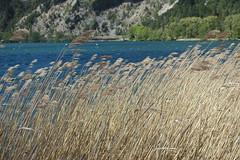 Reed @ Wind @ Hike around Lac de Nantua (*_*) Tags: marche walk randonnee nature montagne mountain hiking 2019 printemps spring may nantua ain france europe jura lacdenantua nantualake