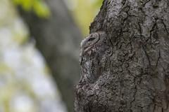 eastern screech owl wild (Mel Diotte) Tags: eastern screech owl wild nature tree feathers hunter eyes talons mel diotte explore nikon d500