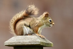 Red Squirrel (Linda Ramsey) Tags: ontario may outdoors backyard animal nature red squirrel redsquirrel