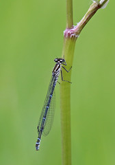 Azure Damselfly - Michael Bird (Just call me Doc) Tags: azuredamselfy femaleblueform damselflies coenagrionpuella dragonfly dragonflies odonata corbettsmeadow attenboroughnaturereserve attenborough nottingham nottinghamshire michaelbird canon tamron g2 6d 150600mm