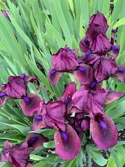 Homage: #Irises in homage to  #VanGogh (remiklitsch) Tags: green remiklitsch iphone newyork lewiston morning rain spring flowers purple irises vangogh