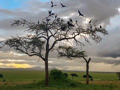 (晒晒太阳不长虫) Tags: tanzania tarangire bird safari