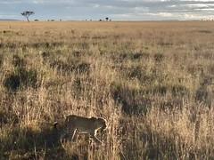 (晒晒太阳不长虫) Tags: tanzania serengeti leopard safari