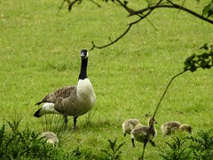 Canada Geese, Monmouthshire-Brecon Canal, Bevan's Lane Marina, Cwmbran 19 May 2019 (Cold War Warrior) Tags: canada goose gosling cwmbran canal