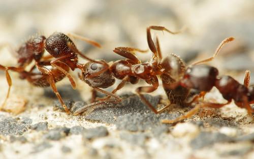 Ant Tug of War