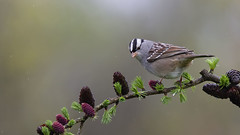 White-crowned sparrow in the rain (IshranI) Tags: whitecrowned sparrow ontario canada