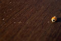#280419 - Ladybugs II (RomxnJota) Tags: ladybug madera mariquita animal insecto naturaleza natural desenfoque canon eos 77d sand arena manchas pequeño small cámara 50mm wood walkpaper