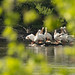 Pelicans on the Rock River