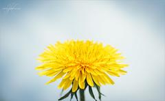 dandelion (Carrie Cooper) Tags: weeds dandelion nature jadekat photography flowers