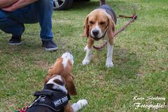 2019-05-19_Beagle Spektakel Heteren_KS-31