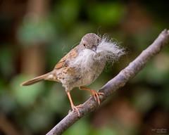 Nesting time for a Dunnock (Mr Aylesbury) Tags: england nesting uk bird sonya7iii sony gardenbird 2019 karlvaughan fe24240mmf3563oss