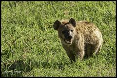 Close up hyhena (SpacePaparazzi.com) Tags: tanzania africa southeastafrica safari seringetti ngorongorocrater hyhena