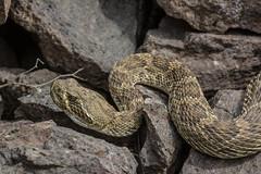 Prairie Rattlesnake (amdubois01) Tags: jeffersoncounty prairierattlesnake rattlesnake reptile snake crotalus crotalusviridis viridis rattler colorado usa unitedstates unitedstatesofamerica
