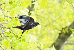 Red Wing Black Bird (440 volts) Tags: blackbird flight takeoff