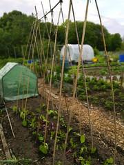 139/365 Bean sticks (KatyMag) Tags: allotment beanpoles vegetablegarden vegetablegrowing seedlings growyourown wolverhampton outdoor gardening
