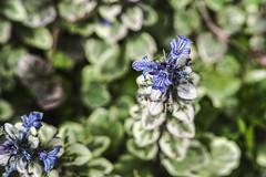 Back Garden Beauty -- Ajuga 2 (stevedewey2000) Tags: flowers flora gardenflowers backgarden macro ajuga manualfocus m42 carlzeissjena50mmf28 macrofilters