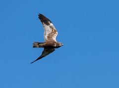 Болотный или камышовый, лунь - Circus aeruginosus - Marsh harrier (SvetlanaJessy) Tags: природа птицы bird