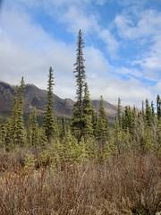 Scrub Pine (neukomment) Tags: alaska road nabesnaroad mentastamountains mountains may 2019 spring wiiderness canoneosrebelt5i 18250mmf3563dcosmacrohsm sigmalens