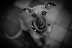 Percy says Hi B&W (jayneboo) Tags: percy whippet instagram bw mono leica cl voigtlander 40mm 12 dog puppy