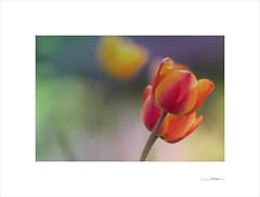 Printemps (E. Pardo) Tags: printemps primavera spring frühling flores flowers blumen tulipanes tulpen tulips colores colors farben luz licht light formas formen forms admont steiermark austria