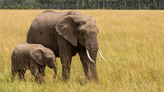 Elephant and Calf (eric hughes 2014) Tags: wildlife animals nature outdoors elephant safari africa kenya massaimara canon 7dmarkii 70200mmf28ii 2019