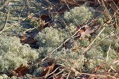 reindeer lichen (ophis) Tags: ascomycetes lecanorales cladoniaceae cladonia cladoniaarbuscula reindeerlichen