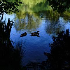 (stephenbarber) Tags: london spring park sunny victoriapark eastlondon hackney duck bird silhouette