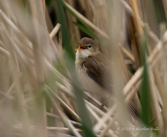 Reed Warbler - Woods Mill (048) (Malcolm Bull) Tags: include woods mill nature reserve 20190519woodsmill0048edited1web