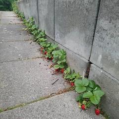 Das verspricht eine reiche Terrassenritzenerdbeerenernte zu werden. 😊 (alexebel) Tags: instagram iphone4