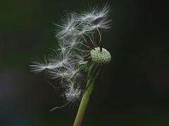 Balding Dandelion (oneofmanybills) Tags: dandelion flowers olympus seeds nature manual
