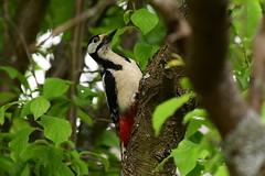 DSC_3614 Buntspecht - Spotted Woodpecker (Charli 49) Tags: nature naturfotografie tier vogel wildlife buntspecht garten nikon d500 nikkor 200500
