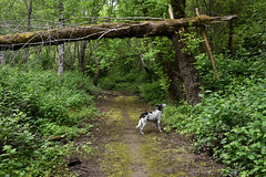 architecture of life (Claudia Künkel) Tags: oregon forest woods tree fallen snapped blanca dog bordercolliemix