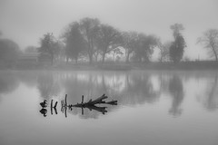 Your never alone (mark-marshall) Tags: chicago reflections water canadiangoose ponds blackandwhite trees driftwood fog d850 nikon282470 sliderssunday