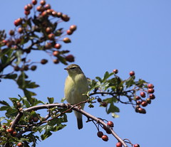 Chiffchaff (ASheartwood) Tags: september2012 autumn2012 eos50d canonef100400mmf4556lisusm canon dslr uk unitedkingdom england hertfordshire sandridge stalbans heartwoodforest woodlandtrust nature wildlife animal bird chiffchaff phylloscopuscollybita hedge hawthorn berries red brown black white yellow green sky cloud trees blue