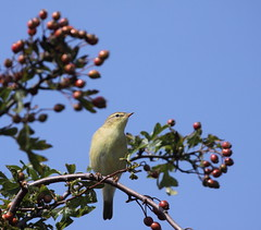 Chiffchaff up high (ASheartwood) Tags: september2012 autumn2012 eos50d canonef100400mmf4556lisusm canon dslr uk unitedkingdom england hertfordshire sandridge stalbans heartwoodforest woodlandtrust nature wildlife animal bird chiffchaff phylloscopuscollybita hedge hawthorn berries red brown black white yellow green sky cloud trees blue