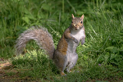 Another Squirrel Balancing Act (Kevin James54) Tags: nikond850 peacevalleypark tamron150600mm animals greysquirrel kevingianniniphotocom