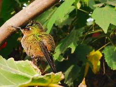 Hummingbird (nicolascaronexus) Tags: bird nature hummingbird aves