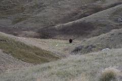 Timbergulch Trail, Grasslands - DSC_3515a (Markus Derrer) Tags: timbergulch markusderrer grasslandsnationalpark grasslands saskatchewan may ravine gully bison