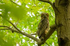 Hoot (Eric Tischler) Tags: owl great horned ohio tree green leaves spring large bird