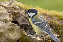 Great Tit (Parus major) (PhasmatosOculus) Tags: may 2019 may2019 bird birds rivernene barnwellcountrypark barnwellpark barnwell country park northamptonshire wildlifeanimal wildlife animal animals wildlifeanimals matthewfarrugia matthew farrugia centricmalteser canon6dmkii canon 6d mkii eos6dmkii canoneos6dmkii eos canoneos eastanglia 6dmkii phasmatosoculus greattit parusmajor great tit parus major