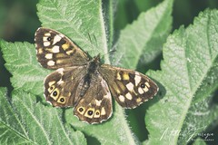 Speckled Wood Butterfly (Female) (Pararge aegeria) (PhasmatosOculus) Tags: speckledwoodbutterfly parargeaegeria speckled wood butterfly pararge aegeria may 2019 may2019 rivernene barnwellcountrypark barnwellpark barnwell country park northamptonshire invertebrate invertebrates insect macro macrophotography wildlifeanimal wildlife animal animals wildlifeanimals matthewfarrugia matthew farrugia centricmalteser canon6dmkii canon 6d mkii eos6dmkii canoneos6dmkii eos canoneos eastanglia 6dmkii phasmatosoculus