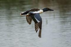 shovler (alderson.yvonne) Tags: shovler water lake pond4