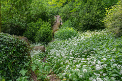 Wild Garlic and fallen trees in hedge row. (JRPics.) Tags: wildgarlic spring landscape flowers shade nature birds gloucestershire structure colour garden trees fallentrees outside globe plants hedges sun outdoors animals england giant shape uk