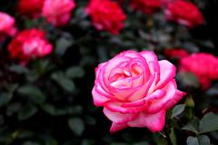 rose, Nagai Botanical Garden, Osaka (jtabn99) Tags: rose flower osaka japan nagai garden park 20190519 red pink plant higashisumiyoshi