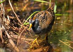 DSC_0483 ps (Steve Arena) Tags: chauncy littlechauncy westboro westborowildlifemanagementarea westborowma worcestercounty massachusetts 2019 nikon d750 bird birds birding migration