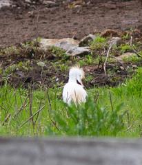 Cattle Egret (brewsterslinnet) Tags: pelecaniformes ardeidae cattleegret bubulcusibis