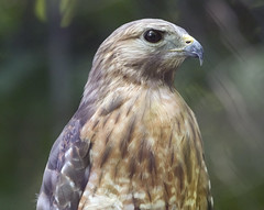 red shouldered hawk -  Maymont park  Richmond Virginia (watts photos1) Tags: red shouldered hawk maymont park richmond virginia bird birds raptor raptors feathers 6400 iso